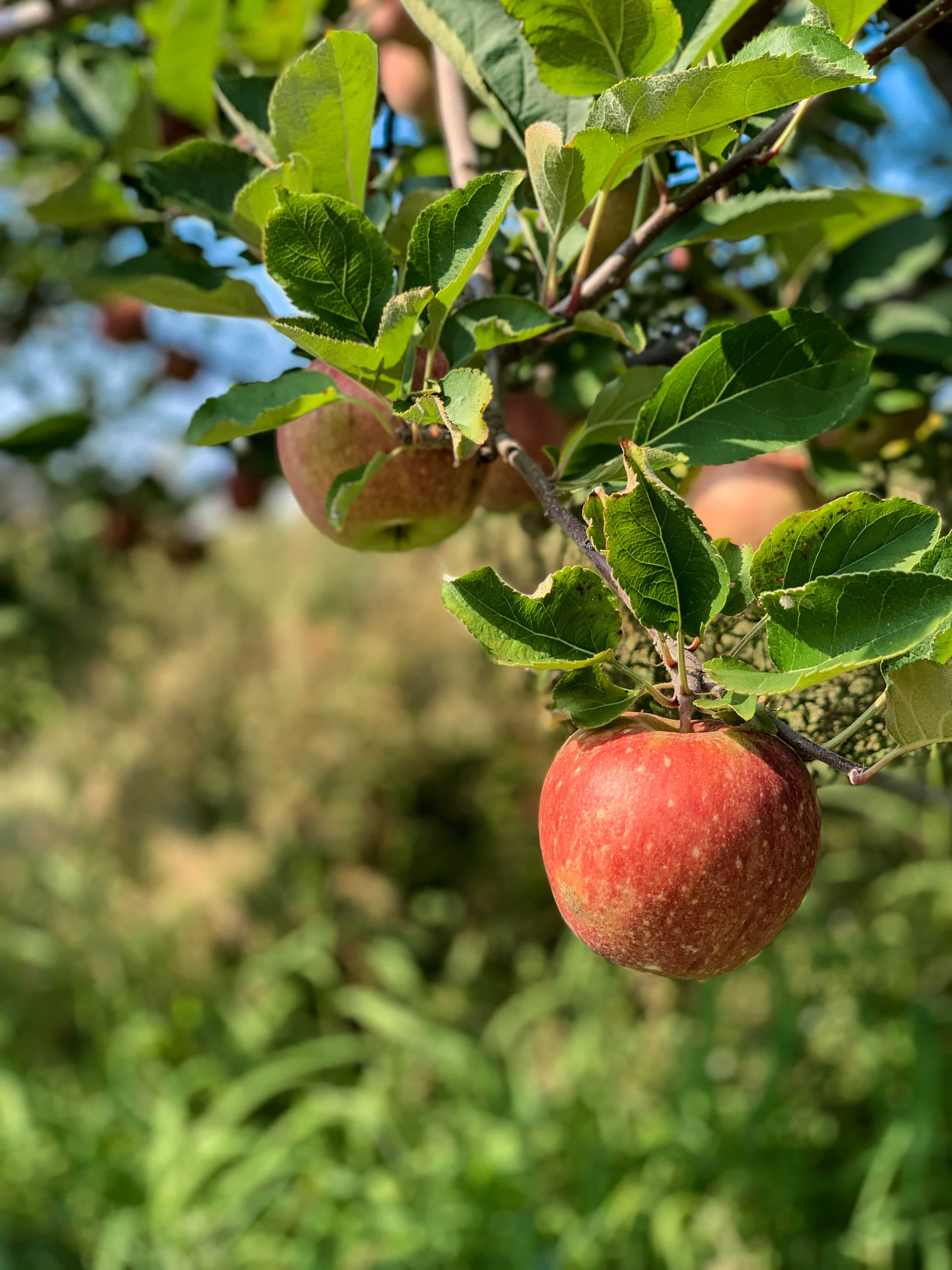 2019 apple picking photo diary I howsweeteats
